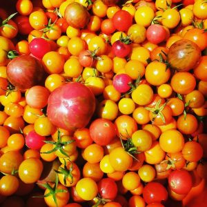 Tomato and Cheese, Pic of Tamchop Farm Tomatoes